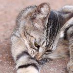 Cómo saber si mi gato tiene pulgas
