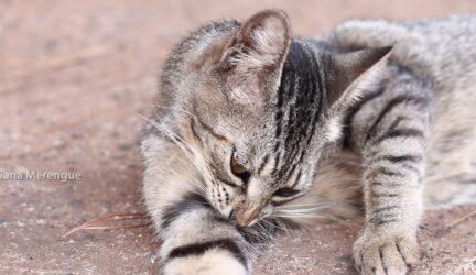 gato pulgas