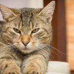 Cómo saber si un gato tiene fiebre
