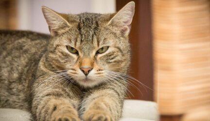saber si el gato esta con fiebre