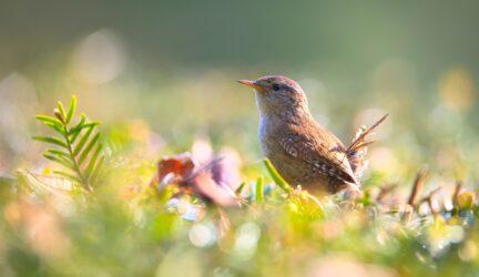 Pájaro de vientre hinchado