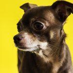 ¿Cómo saber si un Chihuahua es de Raza Pura?