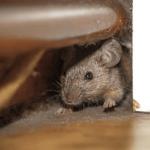 Cómo saber si hay ratones en casa y cómo eliminarlos