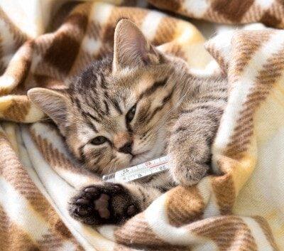 Como saber si tu gato está enfermo