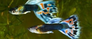 como saber si un pez esta embarazada