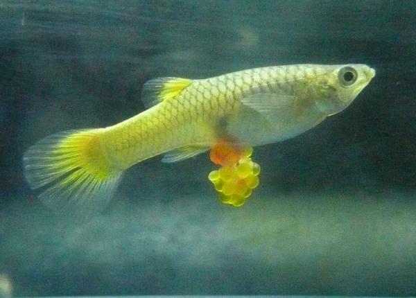 Como-saber-si-un-pez-esta-embarazada